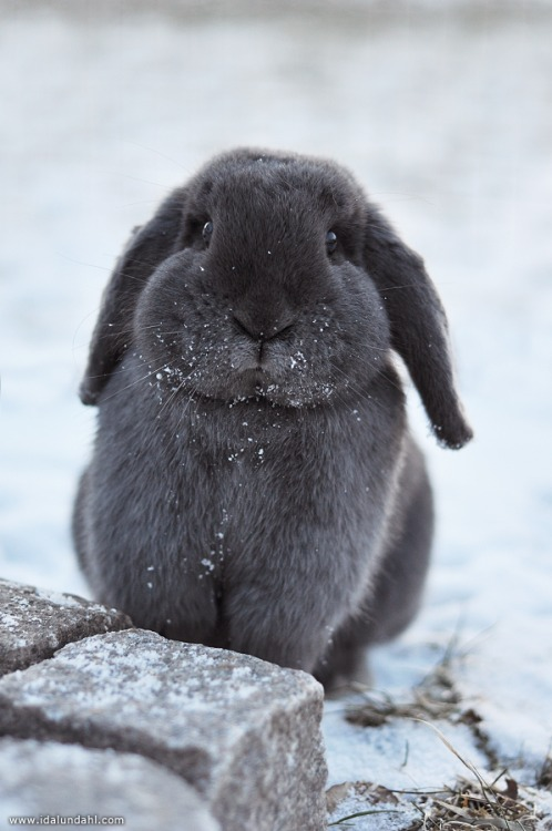 Lop Bunny with snow
