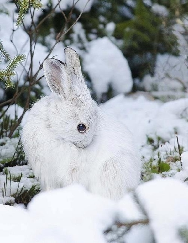 White snow bunny